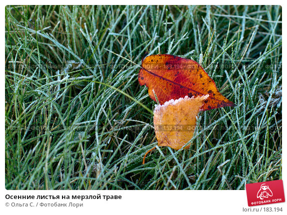 Осенние листья на мерзлой траве, фото № 183194, снято 11 октября 2007 г. (c) Ольга С. / Фотобанк Лори