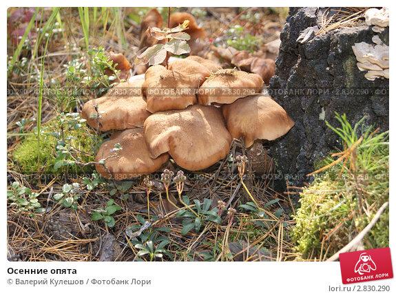 Осенние опята. Стоковое фото, фотограф Валерий Кулешов / Фотобанк Лори