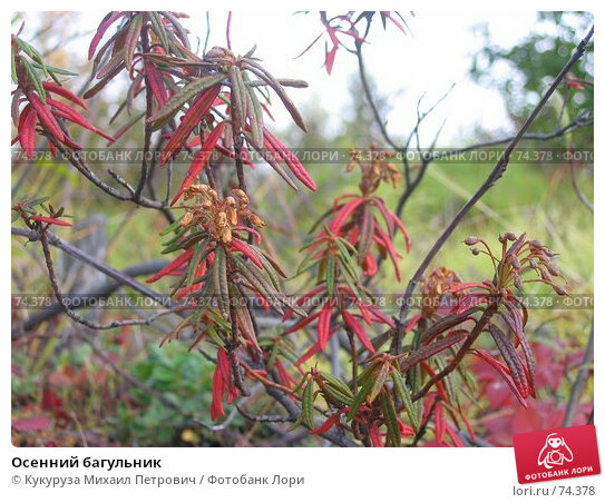 Осенний багульник, фото № 74378, снято 29 августа 2005 г. (c) Кукуруза Михаил Петрович / Фотобанк Лори