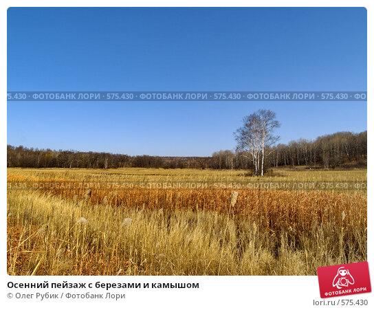 Купить «Осенний пейзаж с березами и камышом», фото № 575430, снято 9 ноября 2008 г. (c) Олег Рубик / Фотобанк Лори