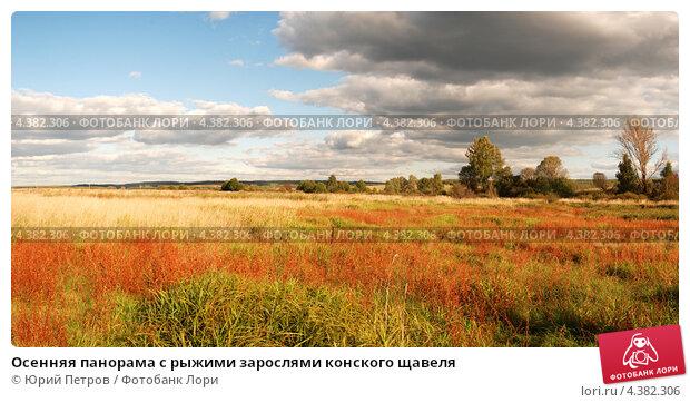 Осенняя панорама с рыжими зарослями конского щавеля. Стоковое фото, фотограф Юрий Петров / Фотобанк Лори