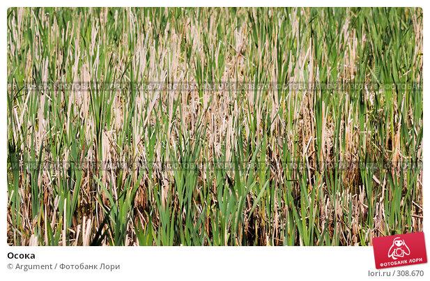 Осока, фото № 308670, снято 1 июня 2008 г. (c) Argument / Фотобанк Лори