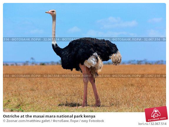 Ostriche at the masai mara national park kenya. Стоковое фото, фотограф Zoonar.com/matthieu gallet / easy Fotostock / Фотобанк Лори