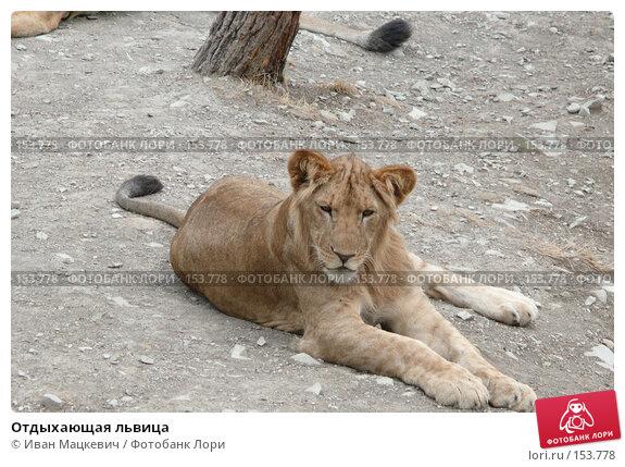 Отдыхающая львица, фото № 153778, снято 23 сентября 2007 г. (c) Иван Мацкевич / Фотобанк Лори