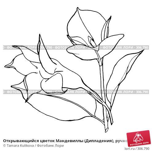 Открывающийся цветок Мандевиллы (Дипладения), ручной рисунок со сглаженными линиями, иллюстрация № 306790 (c) Tamara Kulikova / Фотобанк Лори