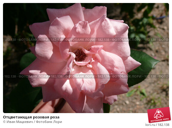 Отцветающая розовая роза, фото № 182138, снято 7 сентября 2007 г. (c) Иван Мацкевич / Фотобанк Лори