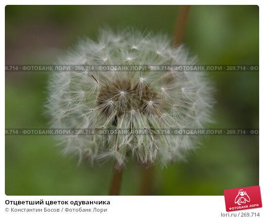 Отцветший цветок одуванчика, фото № 269714, снято 28 марта 2017 г. (c) Константин Босов / Фотобанк Лори
