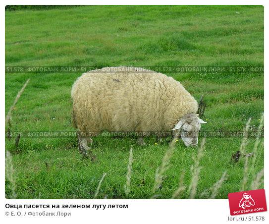 Овца пасется на зеленом лугу летом, фото № 51578, снято 7 июня 2007 г. (c) Екатерина Овсянникова / Фотобанк Лори
