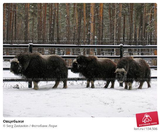Овцебыки, фото № 134506, снято 7 ноября 2004 г. (c) Serg Zastavkin / Фотобанк Лори