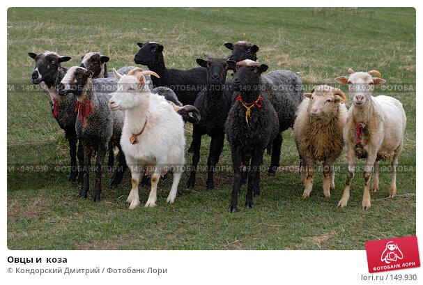 Овцы и  коза, фото № 149930, снято 4 мая 2007 г. (c) Кондорский Дмитрий / Фотобанк Лори