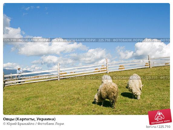 Купить «Овцы (Карпаты, Украина)», фото № 225710, снято 29 сентября 2007 г. (c) Юрий Брыкайло / Фотобанк Лори