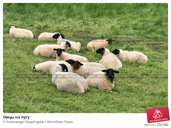 Овцы на лугу, фото № 250946, снято 12 июля 2007 г. (c) Александр Секретарев / Фотобанк Лори