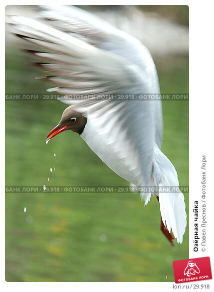 Озёрная чайка, фото № 29918, снято 27 мая 2006 г. (c) Павел Преснов / Фотобанк Лори