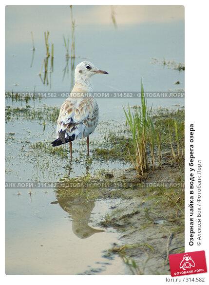 Озерная чайка в воде у берега озера, эксклюзивное фото № 314582, снято 24 июля 2007 г. (c) Алексей Бок / Фотобанк Лори