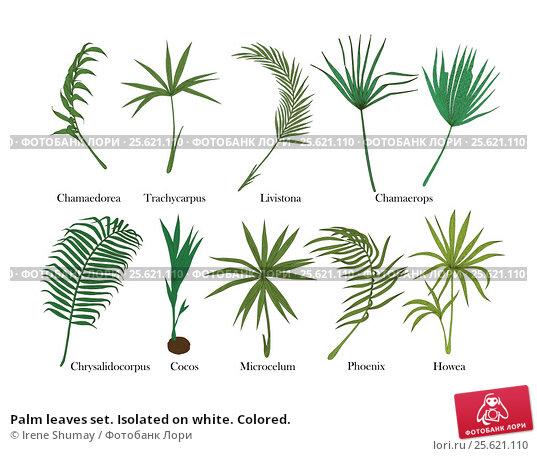 Palm leaves set. Isolated on white. Colored. Стоковая иллюстрация, иллюстратор Irene Shumay / Фотобанк Лори