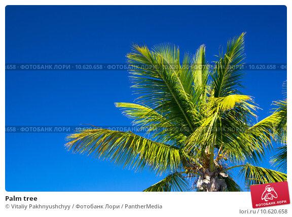 Palm tree . Стоковое фото, фотограф Vitaliy Pakhnyushchyy / PantherMedia / Фотобанк Лори