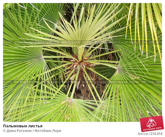 Пальмовые листья, фото № 214414, снято 17 июня 2006 г. (c) Дима Рогожин / Фотобанк Лори