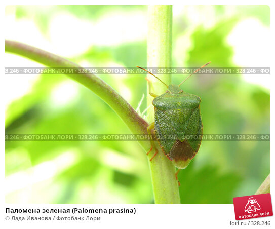 Купить «Паломена зеленая (Palomena prasina)», фото № 328246, снято 15 июня 2008 г. (c) Лада Иванова / Фотобанк Лори