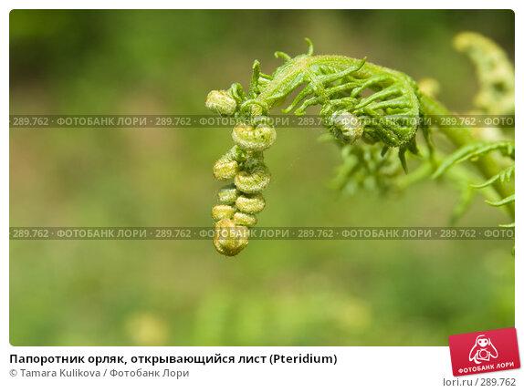 Папоротник орляк, открывающийся лист (Pteridium), фото № 289762, снято 18 мая 2008 г. (c) Tamara Kulikova / Фотобанк Лори