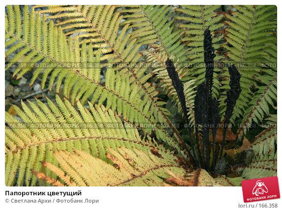 Папоротник цветущий, фото № 166358, снято 7 октября 2006 г. (c) Светлана Архи / Фотобанк Лори