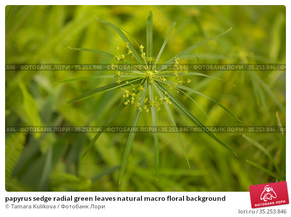 papyrus sedge radial green leaves natural macro floral background. Стоковое фото, фотограф Tamara Kulikova / Фотобанк Лори