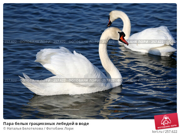 Пара белых грациозных лебедей в воде, фото № 257622, снято 29 марта 2008 г. (c) Наталья Белотелова / Фотобанк Лори