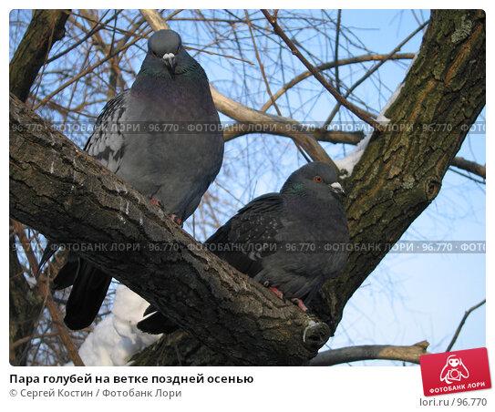Купить «Пара голубей на ветке поздней осенью», фото № 96770, снято 5 марта 2006 г. (c) Сергей Костин / Фотобанк Лори