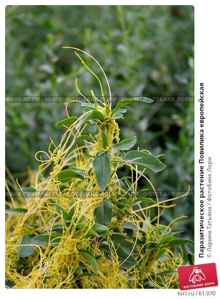 Паразитическое растение Повилика европейская, фото № 61070, снято 30 июня 2007 г. (c) Ларина Татьяна / Фотобанк Лори