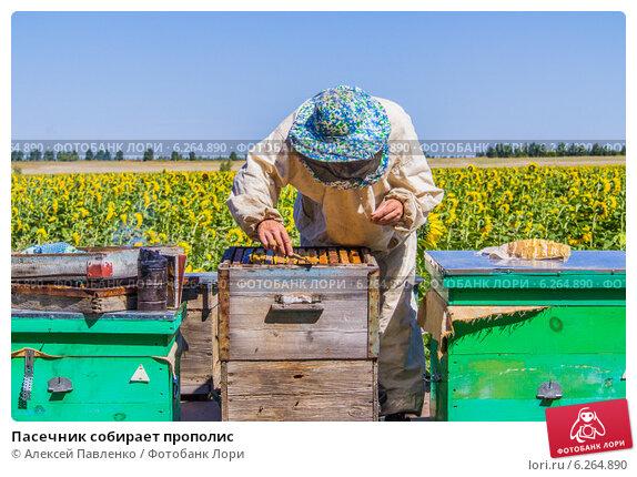 Пасечник собирает прополис. Стоковое фото, фотограф Алексей Павленко / Фотобанк Лори
