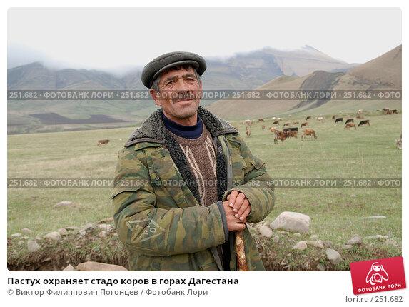 Купить «Пастух охраняет стадо коров в горах Дагестана», фото № 251682, снято 15 мая 2007 г. (c) Виктор Филиппович Погонцев / Фотобанк Лори