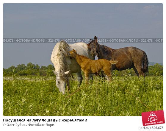 Пасущаяся на лугу лошадь с жеребятами, фото № 326678, снято 9 июня 2008 г. (c) Олег Рубик / Фотобанк Лори