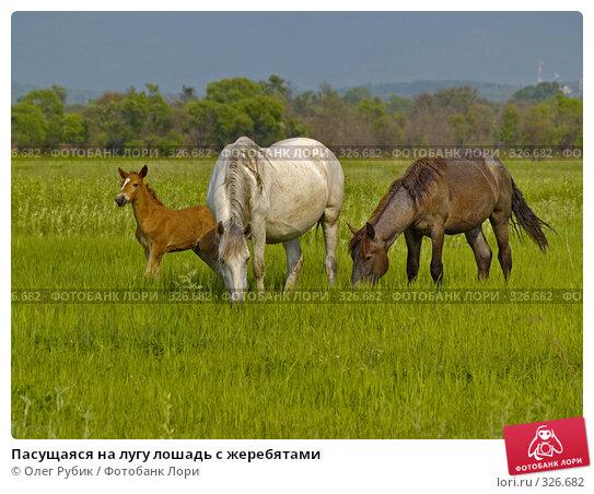 Пасущаяся на лугу лошадь с жеребятами, фото № 326682, снято 9 июня 2008 г. (c) Олег Рубик / Фотобанк Лори