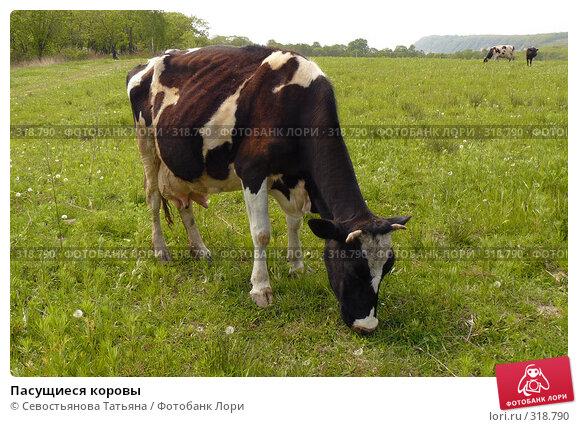 Пасущиеся коровы, фото № 318790, снято 24 мая 2008 г. (c) Севостьянова Татьяна / Фотобанк Лори