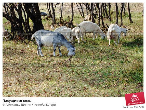 Пасущиеся козы, эксклюзивное фото № 157558, снято 24 сентября 2007 г. (c) Александр Щепин / Фотобанк Лори