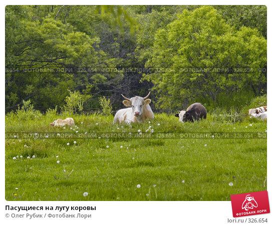 Пасущиеся на лугу коровы, фото № 326654, снято 8 июня 2008 г. (c) Олег Рубик / Фотобанк Лори