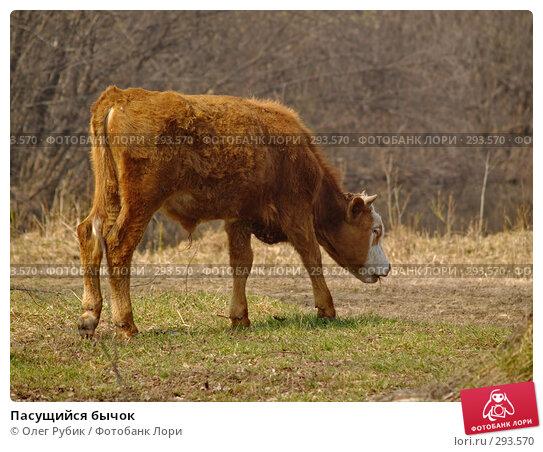 Пасущийся бычок, фото № 293570, снято 18 апреля 2008 г. (c) Олег Рубик / Фотобанк Лори