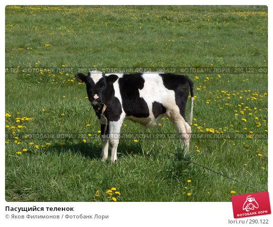 Пасущийся теленок, фото № 290122, снято 18 мая 2008 г. (c) Яков Филимонов / Фотобанк Лори