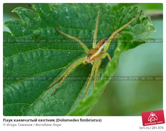 Паук каемчатый охотник (Dolomedes fimbriatus), фото № 281874, снято 22 июля 2007 г. (c) Игорь Семенов / Фотобанк Лори