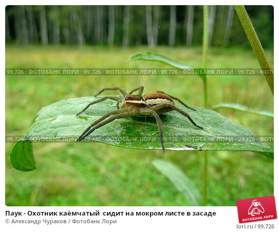 Паук - Охотник каёмчатый  сидит на мокром листе в засаде, фото № 99726, снято 17 августа 2005 г. (c) Александр Чураков / Фотобанк Лори