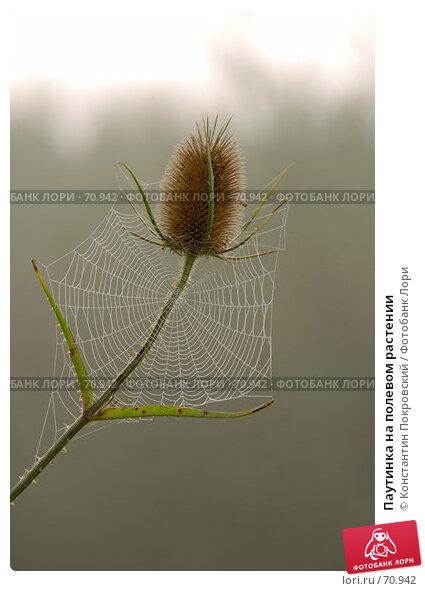 Паутинка на полевом растении, фото № 70942, снято 6 августа 2007 г. (c) Константин Покровский / Фотобанк Лори