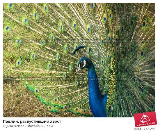 Павлин, распустивший хвост, фото № 48290, снято 31 марта 2007 г. (c) Julia Nelson / Фотобанк Лори