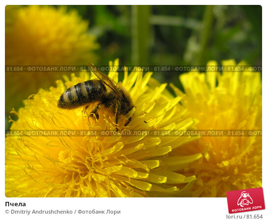 Пчела, фото № 81654, снято 30 апреля 2007 г. (c) Dmitriy Andrushchenko / Фотобанк Лори