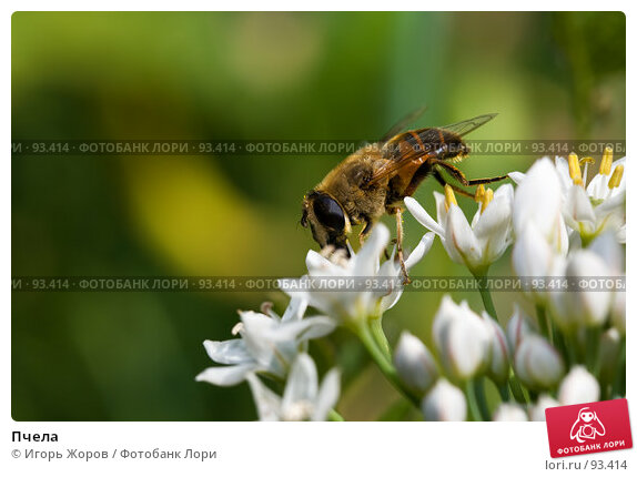 Пчела, фото № 93414, снято 15 августа 2007 г. (c) Игорь Жоров / Фотобанк Лори