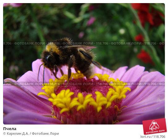 Пчела, фото № 118706, снято 19 августа 2007 г. (c) Карелин Д.А. / Фотобанк Лори