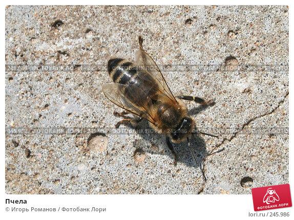 Пчела, фото № 245986, снято 1 мая 2007 г. (c) Игорь Романов / Фотобанк Лори