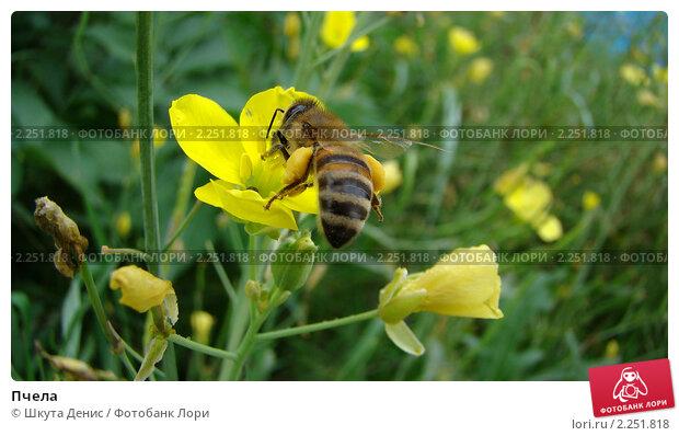 Пчела. Стоковое фото, фотограф Шкута Денис / Фотобанк Лори