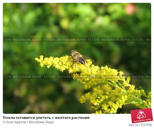 Пчела готовится улететь с желтого растения, фото № 117574, снято 27 июля 2017 г. (c) Олег Крутов / Фотобанк Лори