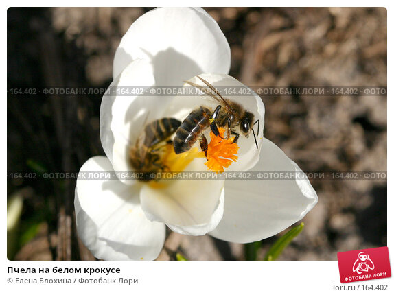 Пчела на белом крокусе, фото № 164402, снято 27 марта 2007 г. (c) Елена Блохина / Фотобанк Лори