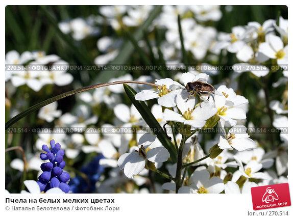 Пчела на белых мелких цветах, фото № 270514, снято 3 мая 2008 г. (c) Наталья Белотелова / Фотобанк Лори