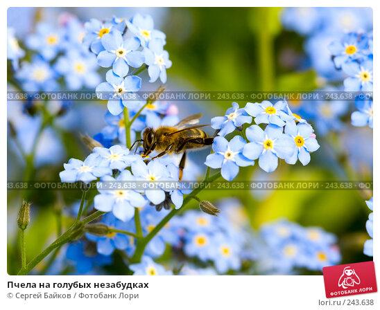 Пчела на голубых незабудках, фото № 243638, снято 19 мая 2007 г. (c) Сергей Байков / Фотобанк Лори
